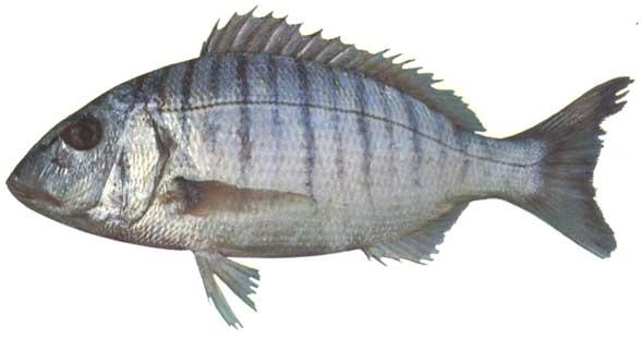 mırmır balığı ile ilgili görsel sonucu
